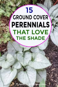 15 ground cover perennials that love shade like brunnera