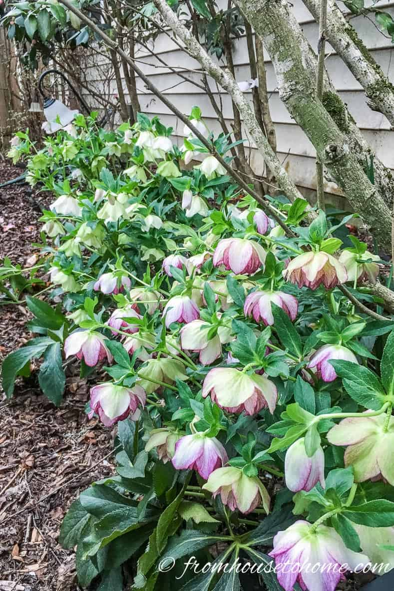 Hellebores make a great addition to the shade border