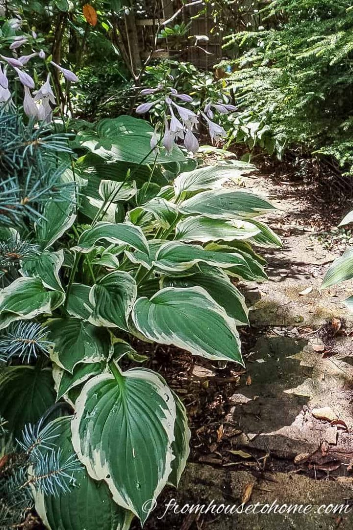 Hostas along path
