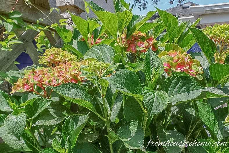 Hydrangea Macrophylia 'Pistachio'