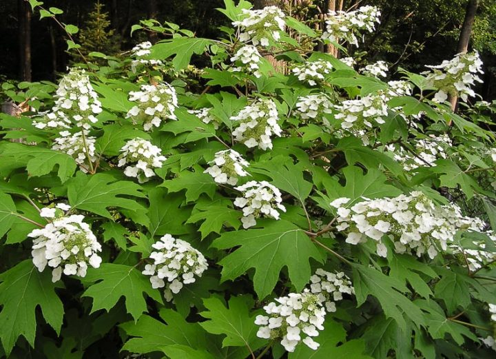 Oakleaf Hydrangea (H. quercifolia) - By Anne Norman (oakleaf hydrangea) [CC BY 2.0], via Wikimedia Commons