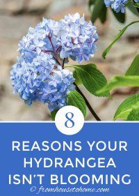 Why isn't my hydrangea blooming?