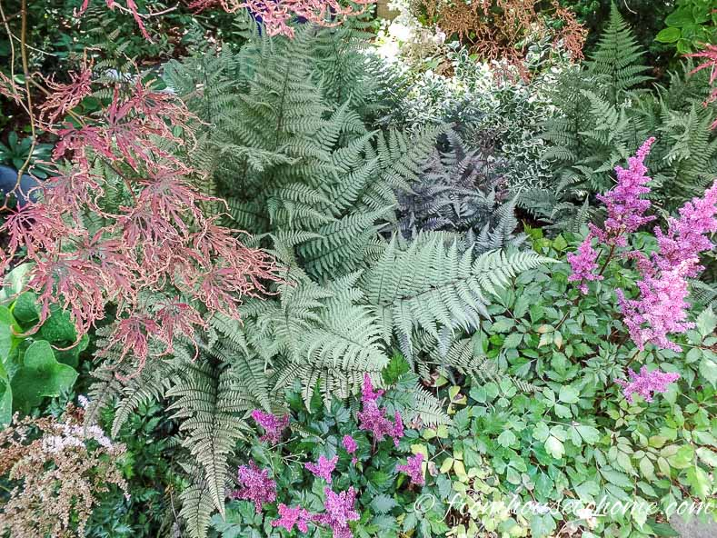 Japanese Painted Fern 'Ghost'
