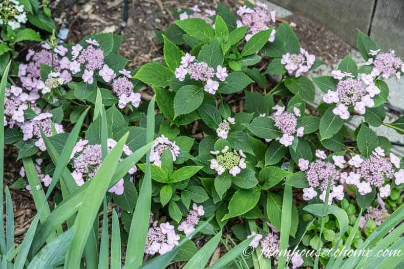 Lacecap Hydrangea macrophylla