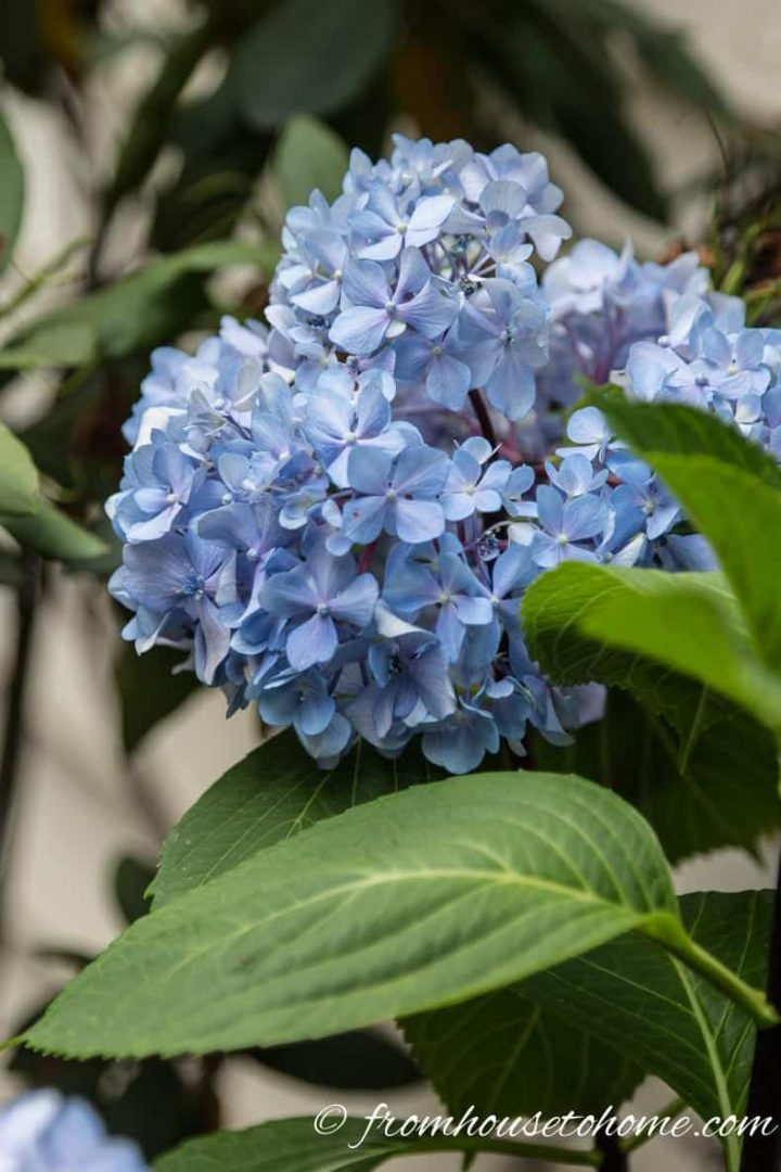 Hydrangea macrophylla blooms on old wood