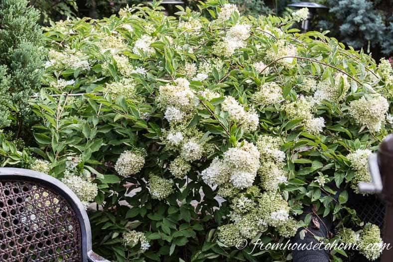 Hydrangea paniculata 'Pee Gee'