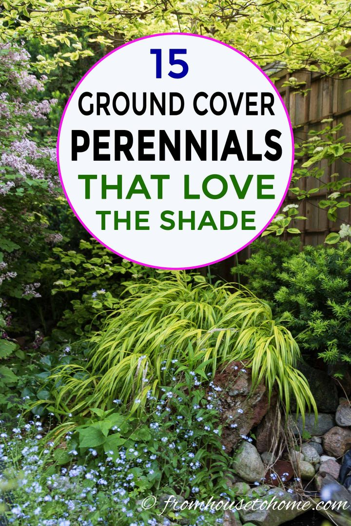 shade loving ground cover perennials