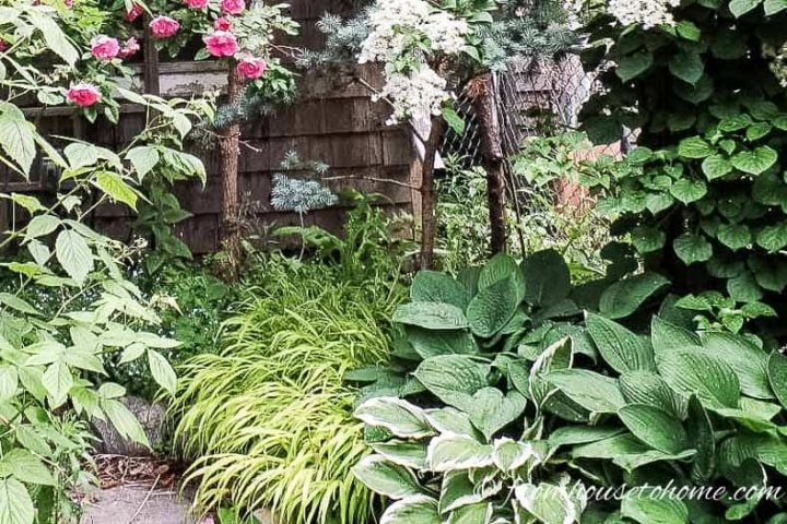 Hostas planted with Japanese Forest Grass