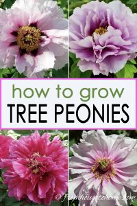 Growing tree peonies