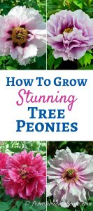 How to grow tree peonies that will produce huge stunning flowers
