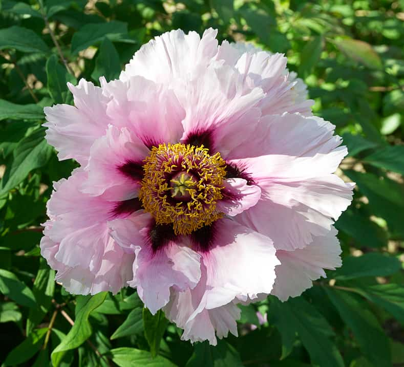 Pink tree peony by Jebulon (Own work) [CC0], via Wikimedia Commons