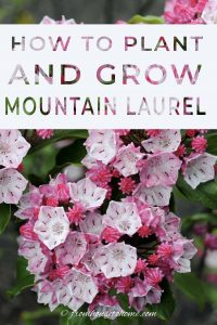 How to plant and grow Mountain Laurel