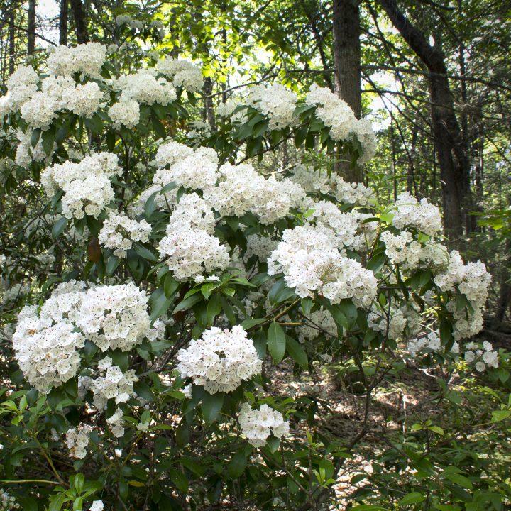 White mountain laurel blooms ©duke2015 - stock.adobe.com