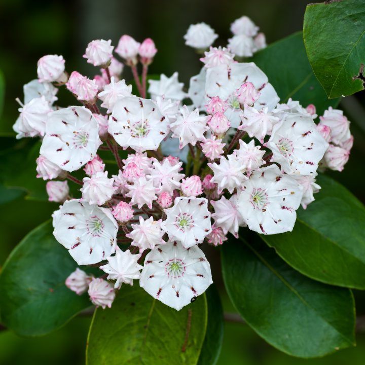 White and pink Mountain Laurel ©Gerry - stock.adobe.com