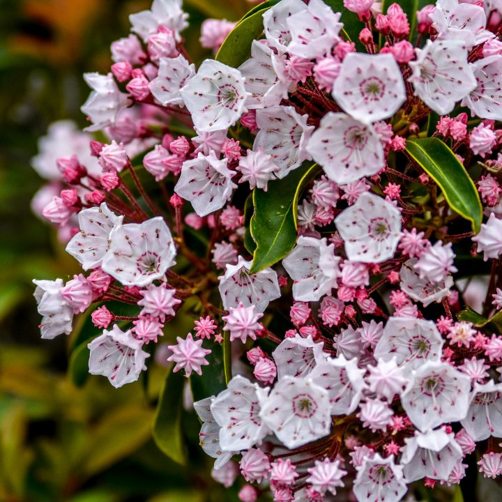Red and pink Mountain Laurel ©Samantha - stock.adobe.com