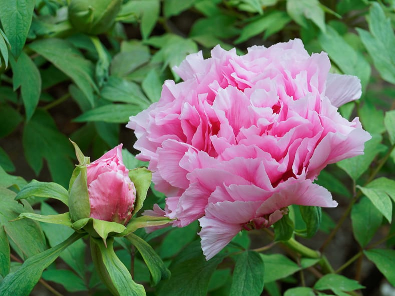 Peony suffruticosa 'Shimane Seidai' by Gil-Estel (Own work) [CC BY 3.0], via Wikimedia Commons