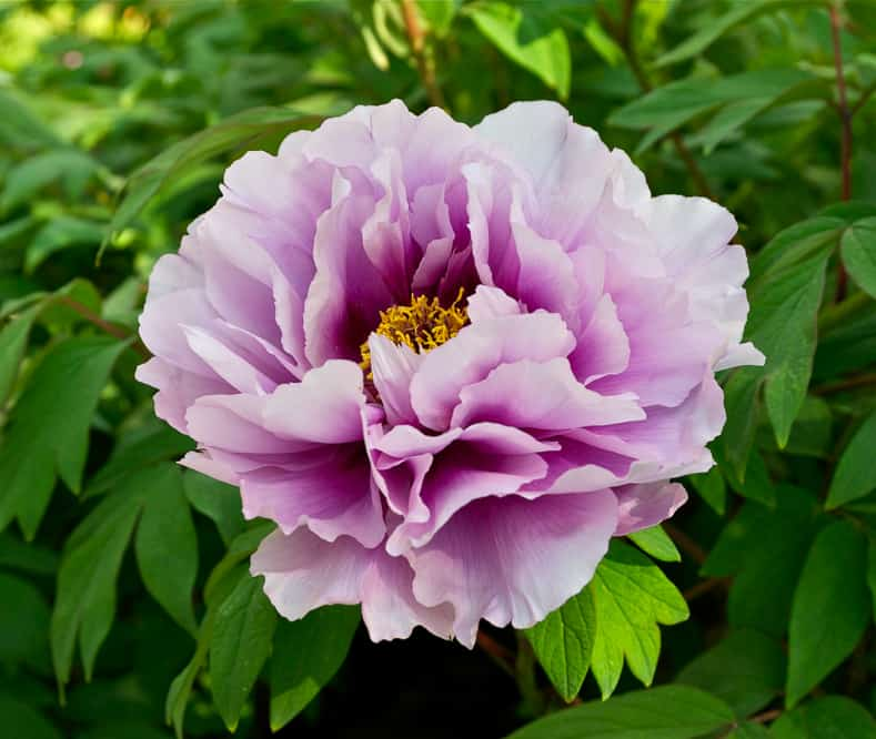 Peony suffruticosa by Jebulon (Own work) [CC0], via Wikimedia Commons