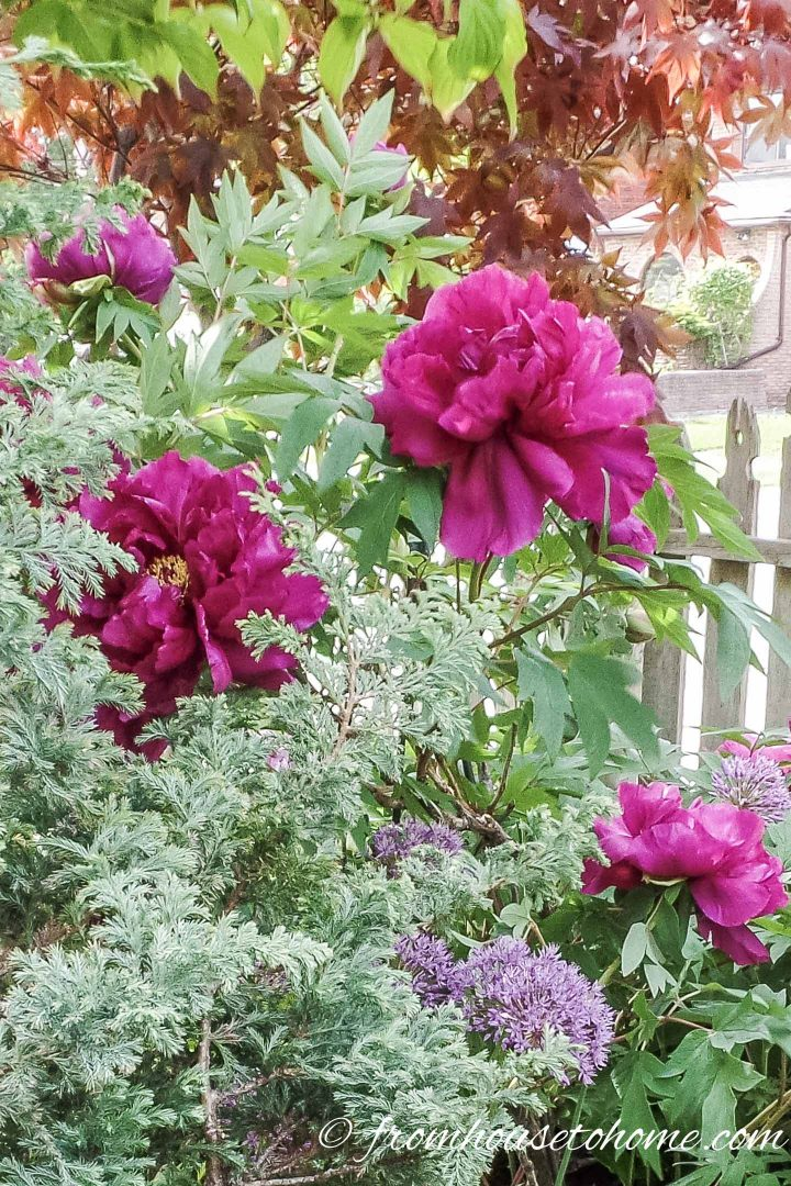 Tree Peony 'Pluto' with evergreens and alliums