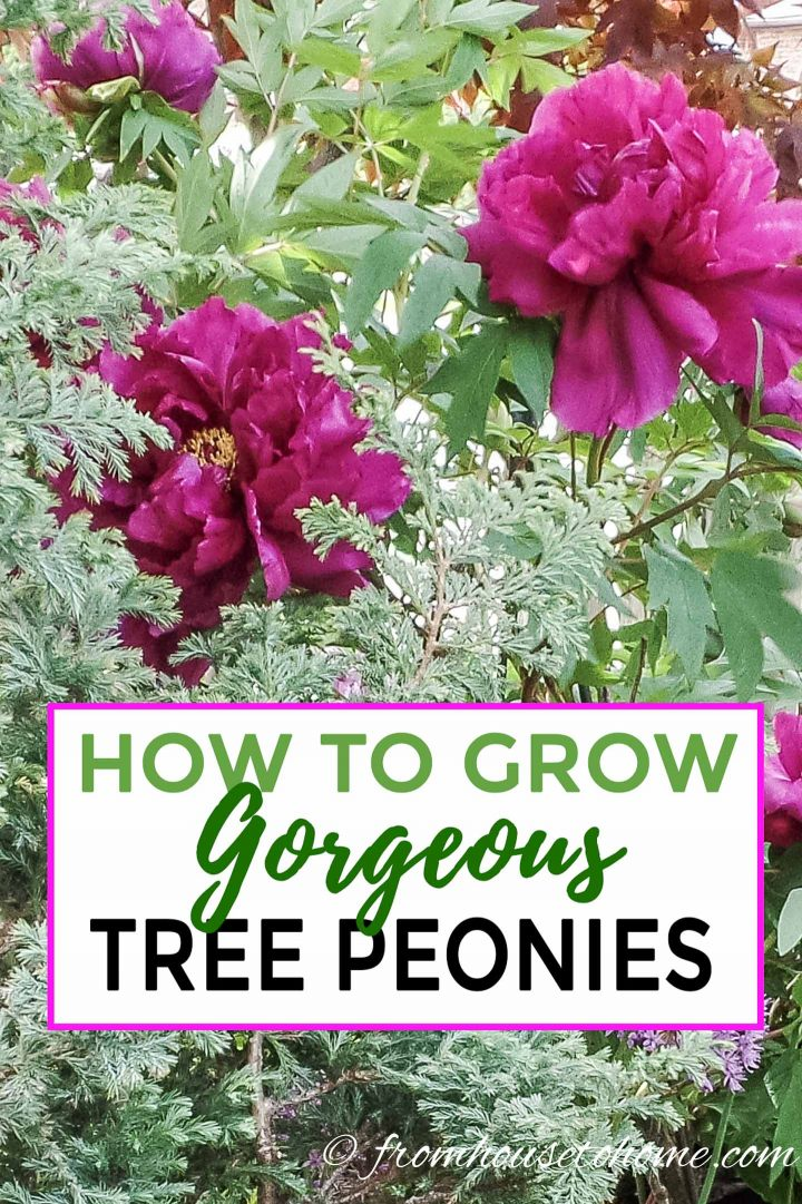 How to grow gorgeous tree peonies