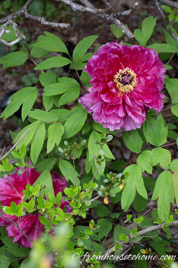 tree peony in bloom