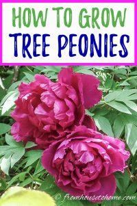 Tree peony care