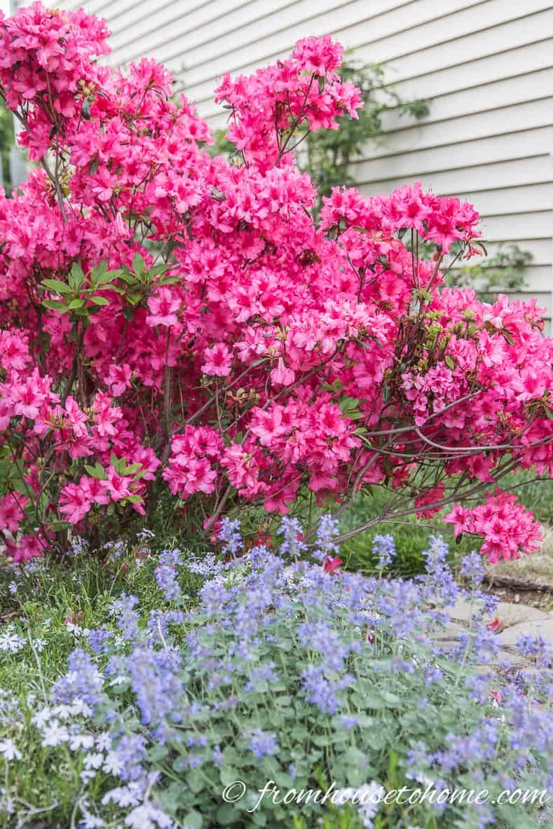 Evergreen Azalea | Rhododendron Care: How to grow beautiful Rhododendrons and Azaleas | Learn how simple Rhododendron care actually is with these easy tips on how to grow beautiful Azalea and Rhododendron bushes.