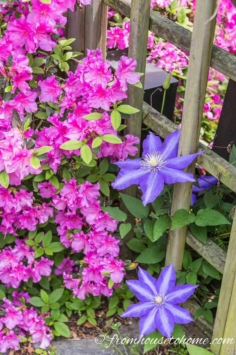 Clematis and Azalea | | Rhododendron Care: How to grow beautiful Rhododendrons and Azaleas | Learn how simple Rhododendron care actually is with these easy tips on how to grow beautiful Azalea and Rhododendron bushes.