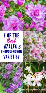 The Best Azalea & Rhododendron Varieties