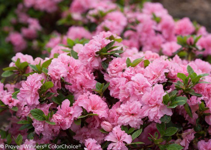 Bloom-a-thon Double Pink Azalea via Proven Winners