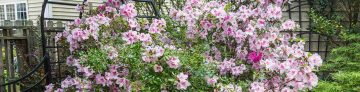 Encore Azalea In The Garden