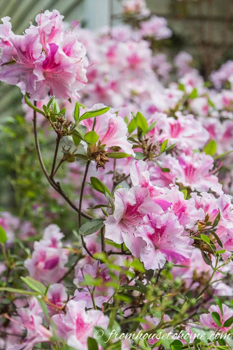 Encore Azaleas are one of the best hummingbird plants