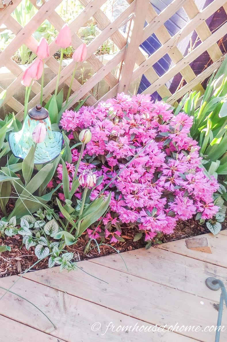 PJM Rhododendron | Rhododendron Care: How to grow beautiful Rhododendrons and Azaleas | Learn how simple Rhododendron care actually is with these easy tips on how to grow beautiful Azalea and Rhododendron bushes.