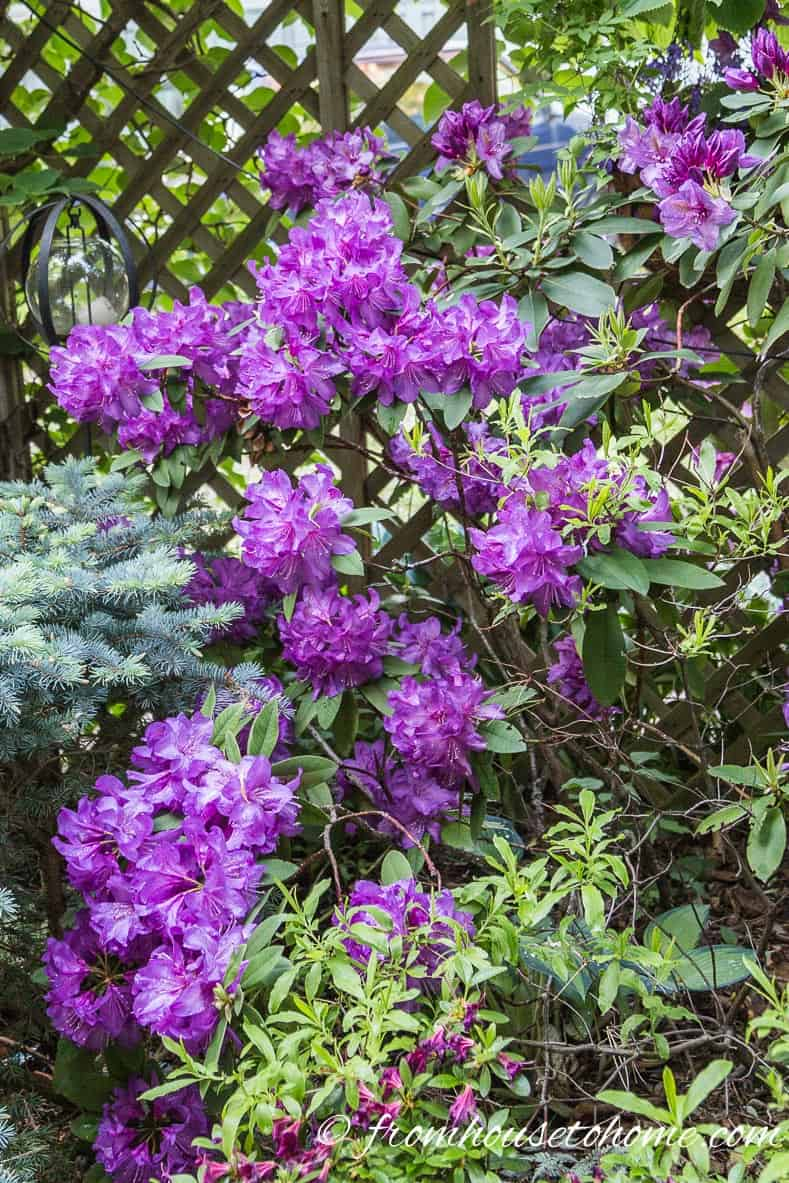 Rhododendron catawbiense | Rhododendron Care: How to grow beautiful Rhododendrons and Azaleas | Learn how simple Rhododendron care actually is with these easy tips on how to grow beautiful Azalea and Rhododendron bushes.