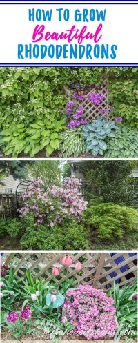 How to Grow Beautiful Rhododendrons