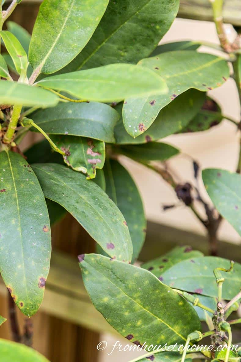 Brown spots | Rhododendron Problems: What's wrong with my Rhododendron? And how do I fix it? | Are your Rhododendrons not looking as healthy as they should? This list of Rhododendron problems and diseases will help you figure out what you need to do to fix them.