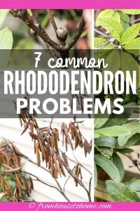 7 common Rhododendron diseases