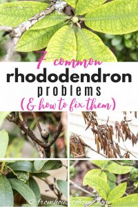 7 common Rhododendron problems