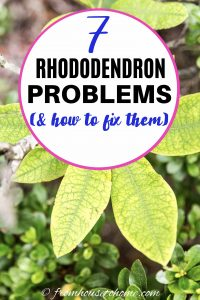 Rhododendron problems and issues