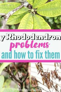 Rhododendron problems and diseases