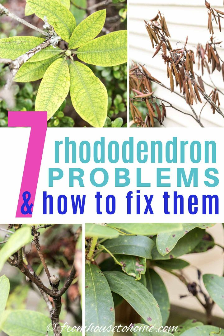 7 Rhododendron problems & how to fix them