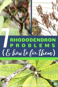 Rhododendron problems