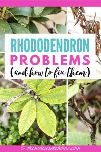 Rhododendron issues