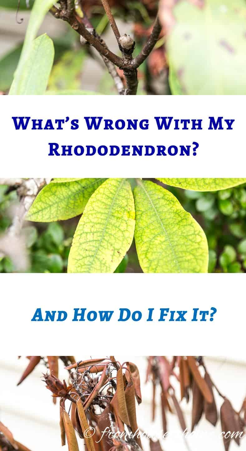 Rhododendron Problems: What's wrong with my Rhododendron? And how do I fix it? | Are your Rhododendrons not looking as healthy as they should? This list of Rhododendron problems and diseases will help you figure out what you need to do to fix them.