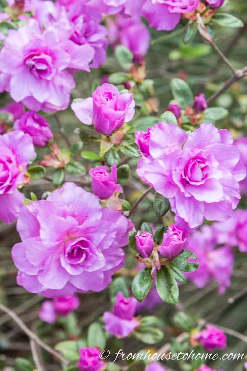 7 Of The Best Azalea And Rhododendron Varieties