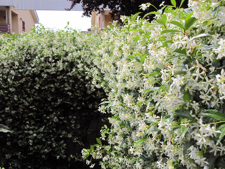 Confederate Jasmine by Petar43 (Own work) [CC BY-SA 3.0], via Wikimedia Commons | 9 of the Best Flowering Vines for Shade | When I needed to hide my neighbor's shed from view in my shady garden, I had a tough time finding flowering vines for shade that were non-invasive. This list of perennial shade vines has some really pretty plants that won't take over your yard.