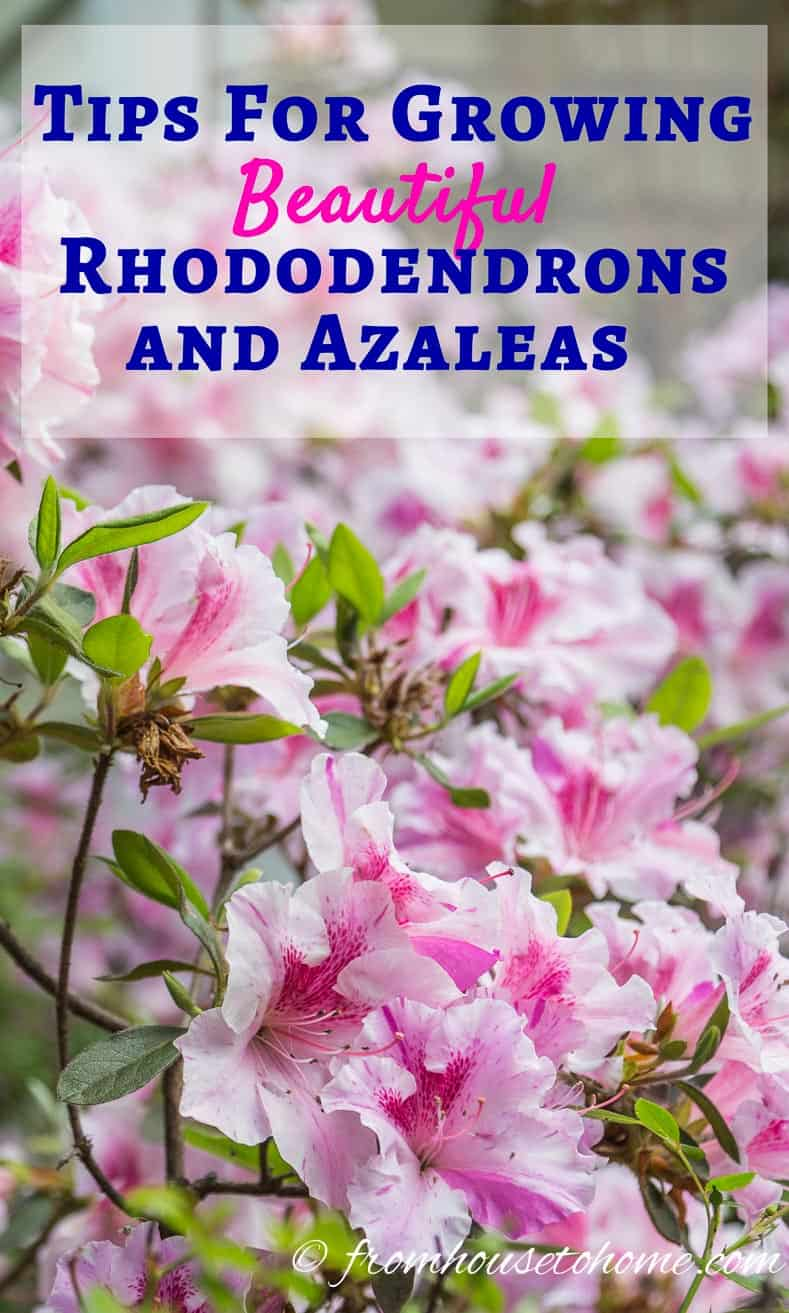 | Rhododendron Care: How to grow beautiful Rhododendrons and Azaleas | Learn how simple Rhododendron care actually is with these easy tips on how to grow beautiful Azalea and Rhododendron bushes.