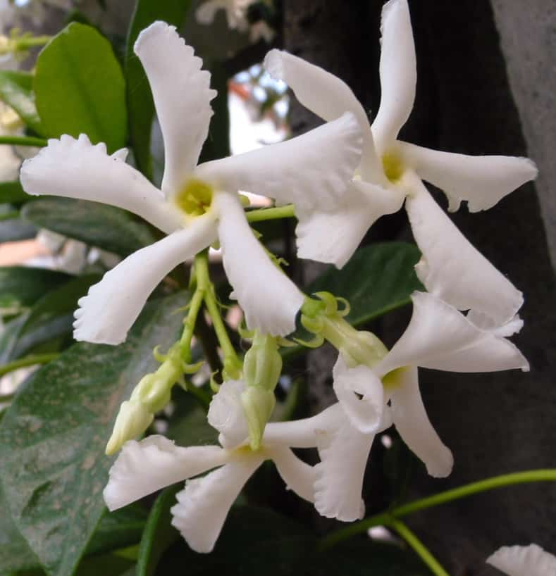 Confederate Jasmine By pizzodisevo [CC BY-SA 2.0], via Wikimedia Commons | 9 of the Best Flowering Vines for Shade | When I needed to hide my neighbor's shed from view in my shady garden, I had a tough time finding flowering vines for shade that were non-invasive. This list of perennial shade vines has some really pretty plants that won't take over your yard.