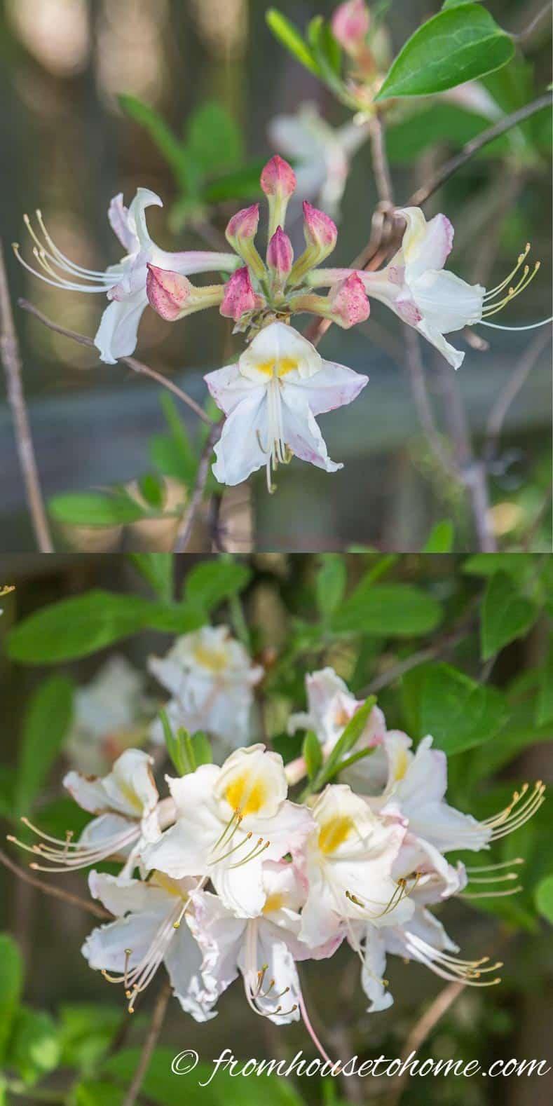 Rhodeodendron colemanii