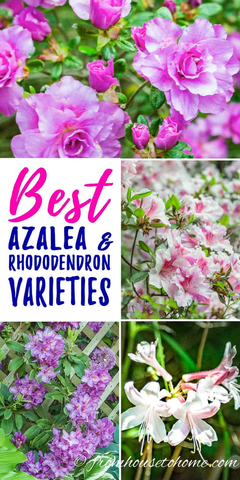7 Of The Best Azalea And Rhododendron Varieties Gardening From