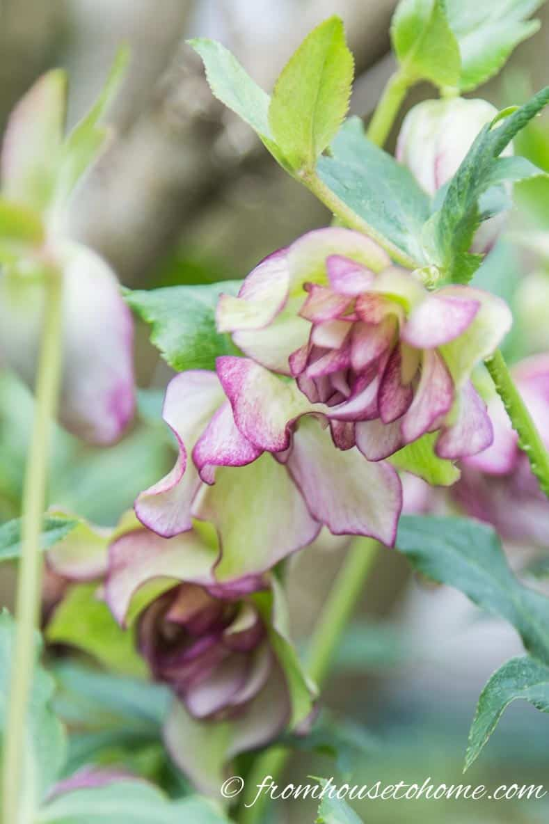 Double-flowered Christmas Rose